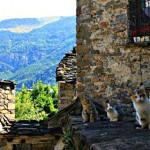 No podían faltar nuestros gatitos pirenáicos
