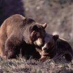 Los osos del Pirineo
